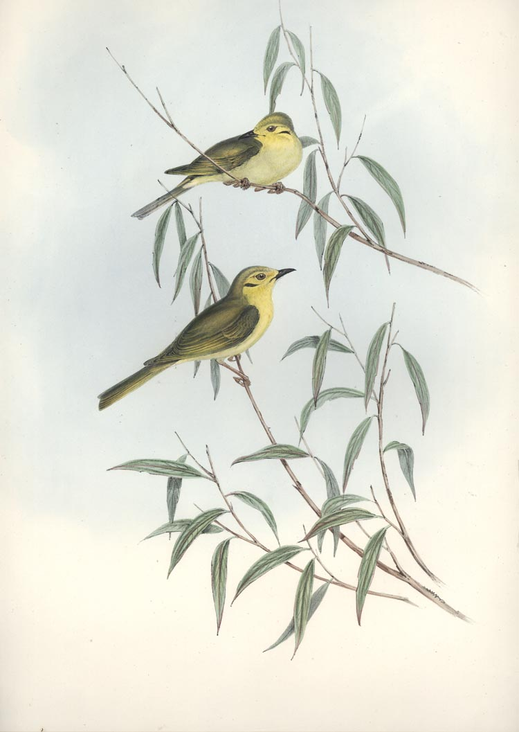 John Gould Ptilotis flavescens, Yellow-tinted Honey-eaters lithograph c1840.