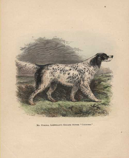 English Setter Countess. J.H. Walsh antique print c1878