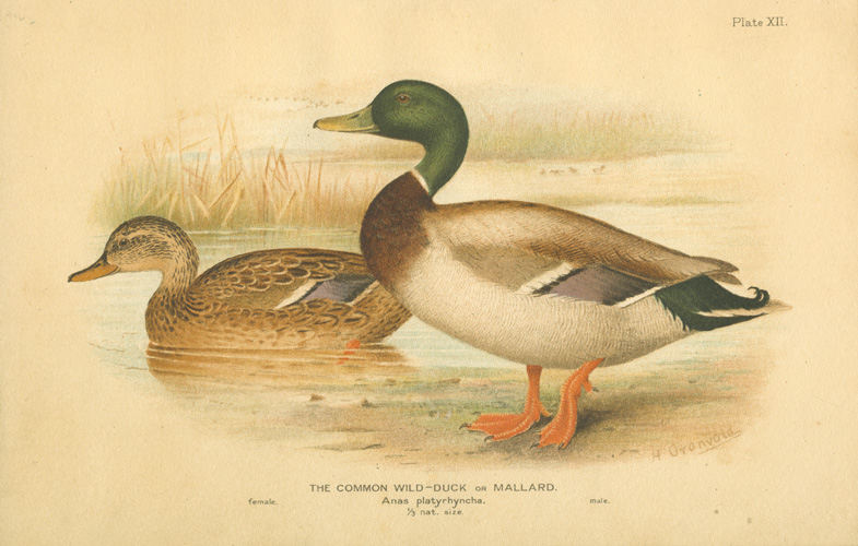 The Common Wild Duck or Mallard. Anas platyrhynchus c1904.