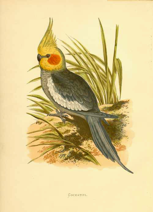 Australian Cockatiel. Woodblock by Lydon, printed by Fenjamin Fawcett for Greene c1884.