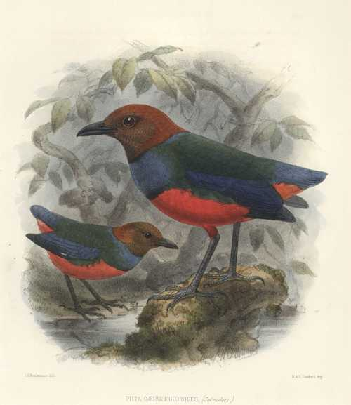 Keulemans hand-coloured lithograph. Pitta Caeruleotorques. c1875
