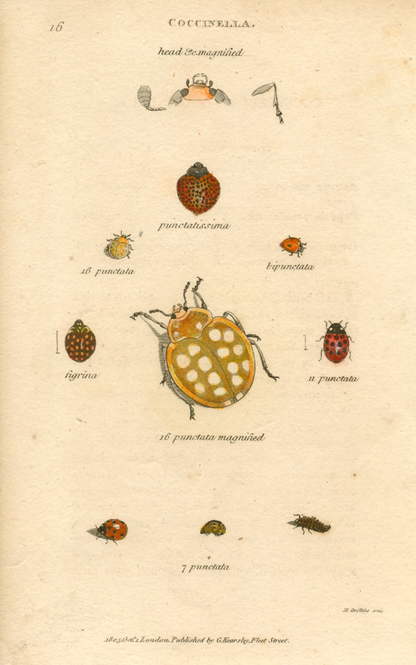 George Shaw Coccinella punctata, P. Figrina. Ladybird engraving c1805