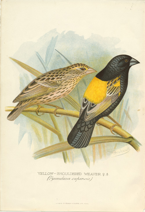 Yellow-shouldered Weaver (Pyromelana capensis) lithograph c1896.