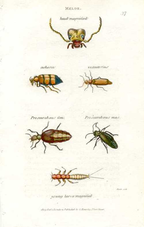 Meloe with magnified head & Proscarabaeus male & female. Shaw Pl.37 c1805