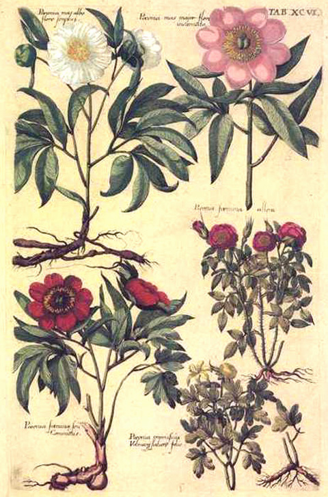 DeBry Peony botanical print from engraving. Paeonia or Peony.