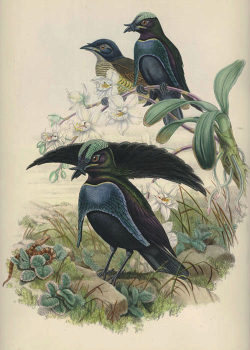 John Gould Superb Bird of Paradise, Lophorina Superba c1878-88.