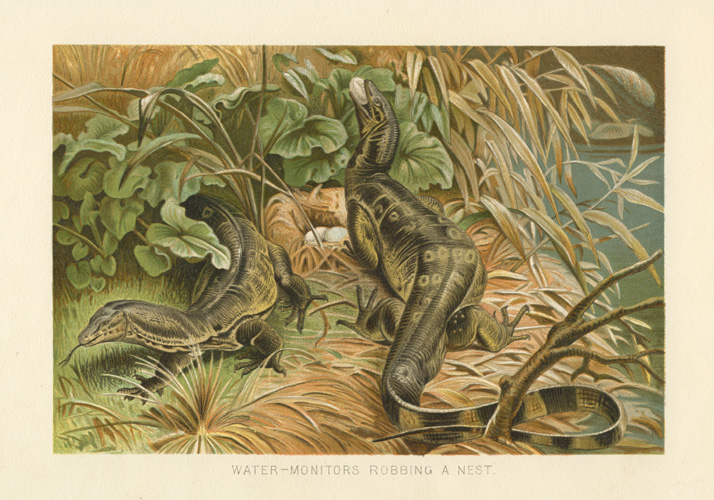 Wonderful Water-Monitors antique print c1894.