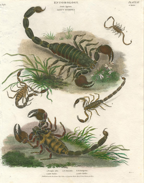 Scorpion antique print. Entomology, Order Aptera. Abraham Rees c1807.