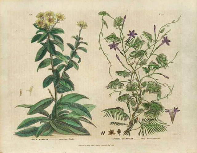 Green's Herbal American Inula, Ipomoea Antique Print c1819