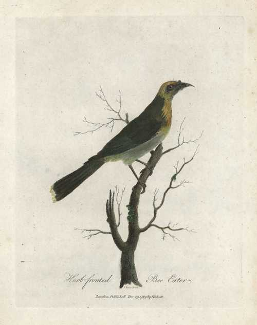 Knob-fronted Bee Eater. Sarah Stone for John White c1789.