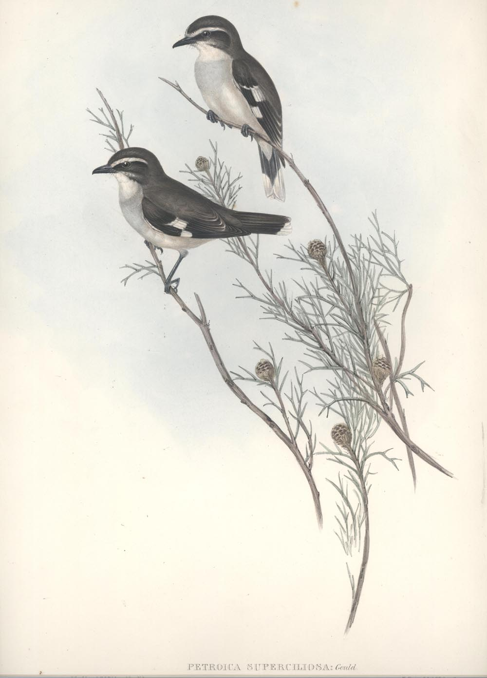 John Gould Petroica superciliosa, Australian White-eyebrowed Robin lithograph c1848