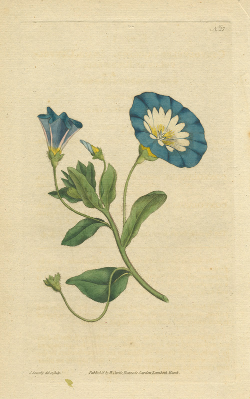 Half-price William Curtis Convolvulus Tricolor, Small Convolvulus or Bindweed, c1788.