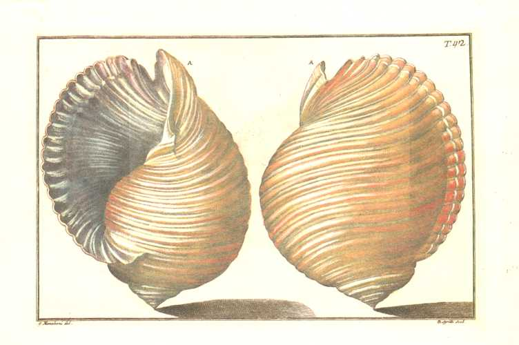Gaultieri Shells Plate 42, small Conchology print