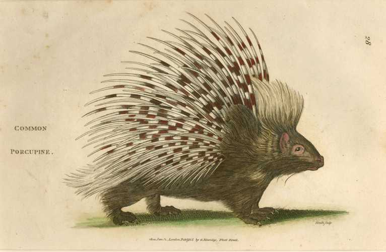Grand, not Common Porcupine. George Shaw engraving c1805