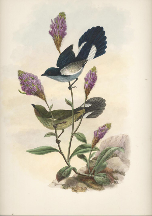 Pretty Fan-tailed Berry-Pecker. John Gould Pristorhamphus versteri, Verster's Flower-Pecker c1880.