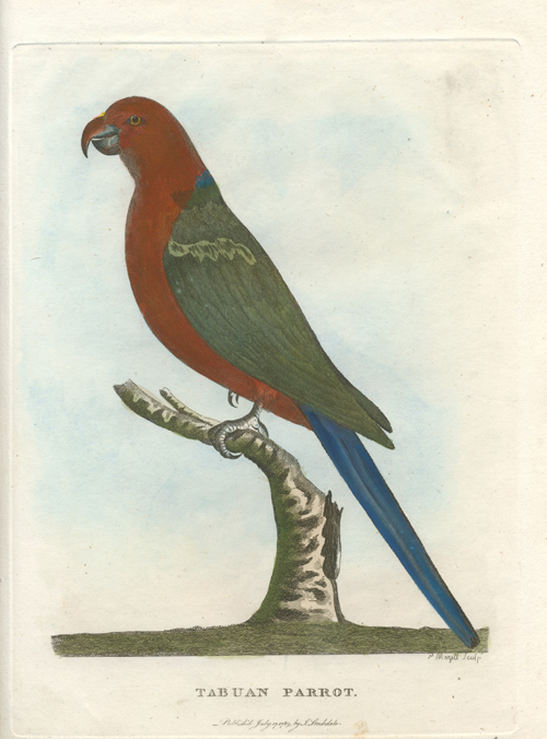 Tabuan Parrot, since identified as Australian King Parrot.