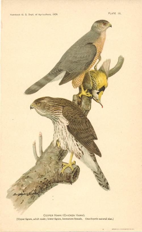 Adult chicken hawk male