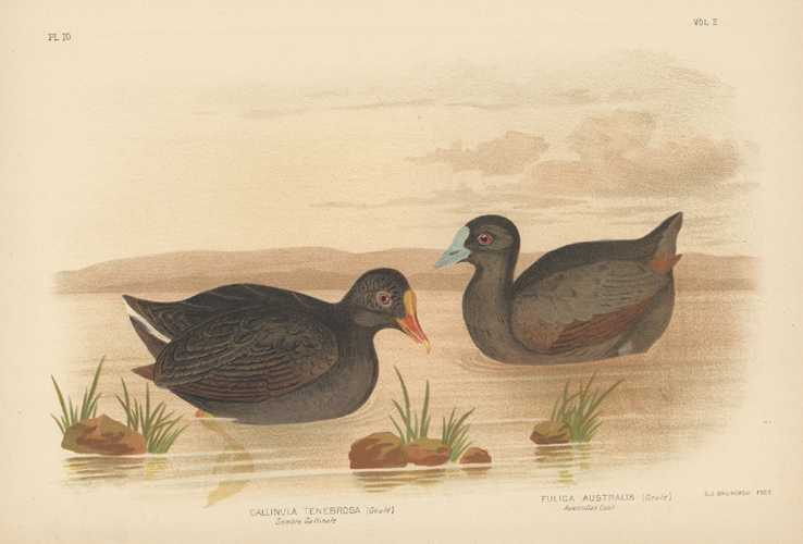 Broinowski Australian Water-birds. Gallinule & Coot. Lithograph c1890