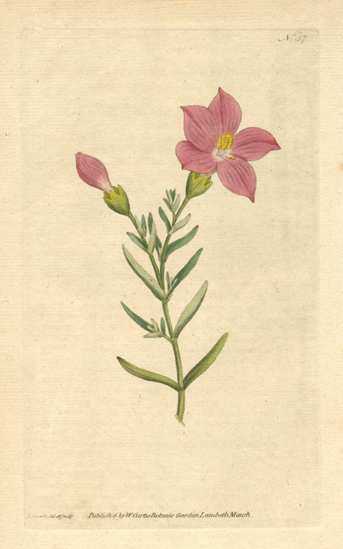 William Curtis Shrubby Chironia Frutescens, Sowerby engraving c1788.