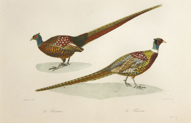 Male & Female Pheasants by Travies, engraved c1820