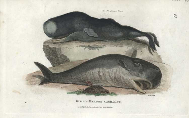 Marine Mammals. Blunt-Headed Cachalot Whales Antique Print. George Shaw c1801
