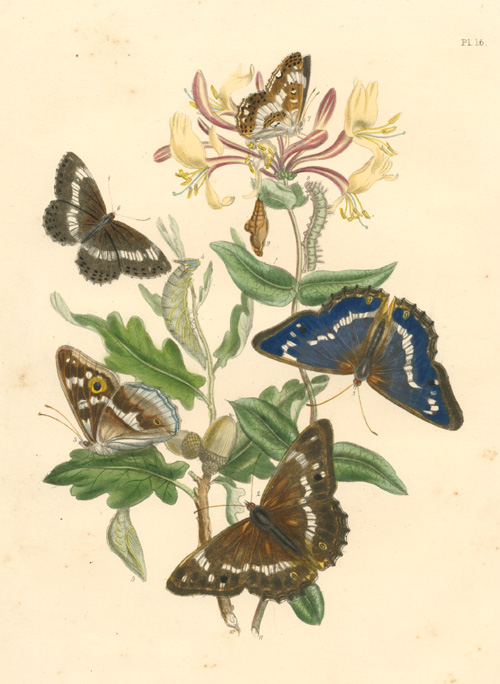 Very pretty butterflies hand-coloured lithograph by H.N. Humphreys c1843.