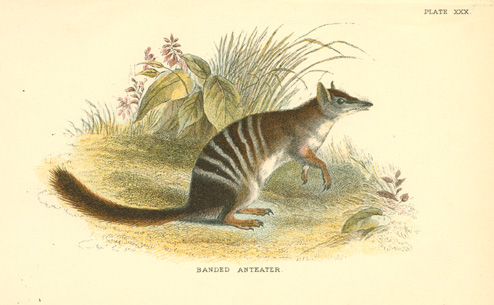 Australian Banded Anteater antique print. Numbat lithograph c1896.