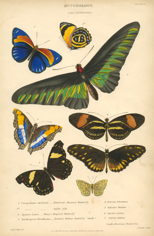 Spectacular Butterflies. Catagramma, Apatua, Ornithopter, Heliconia, Epicalia. Engraved c1860.