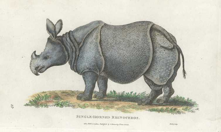 George Shaw Rhinoceros Antique Print by George Kearsley c1801.