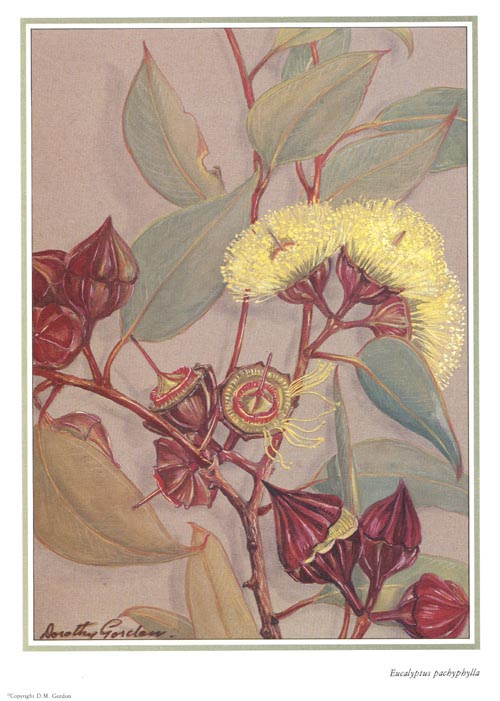 Australian Eucalypt flowers from Dorothy Gordon watercolour,  Eucalyptus pachyphylla
