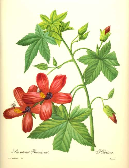 Redoute illustration. Red Hibiscus. Lavatera Phoenicea reproduction print