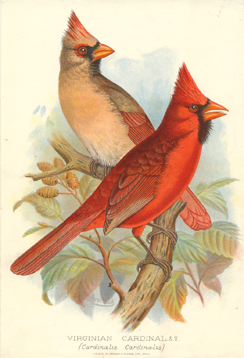 Frohawk, Virginian Cardinal (Cardinalis Cardinalis) male and female. Lithograph c1896.