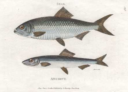 Fish. George Shaw, Shad & Anchovy engraving c1804
