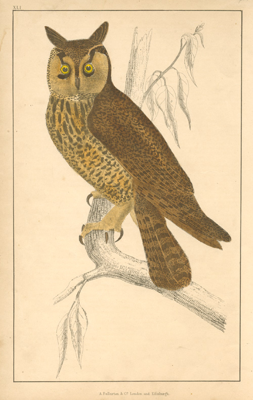 Oliver Goldsmith, Long-eared Owl engraving. Original colour, c1848.