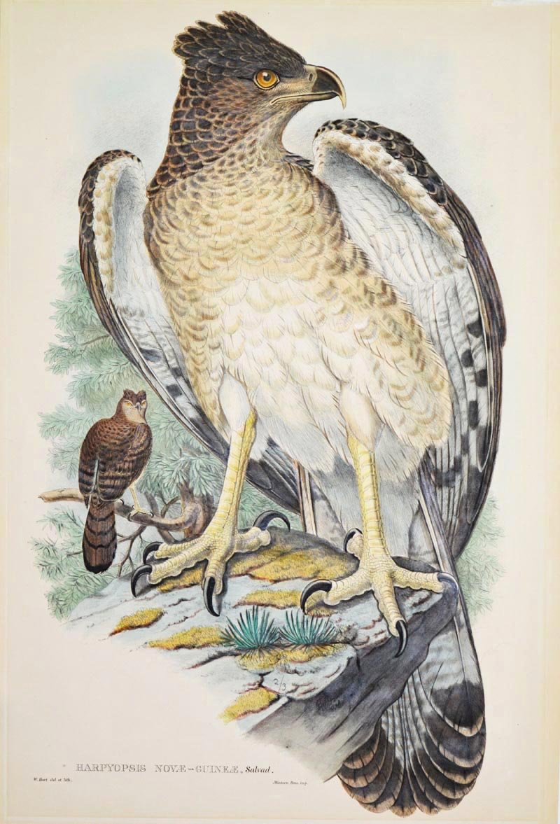 Harpyopsis Novae-Guineae, John Gould Harpy Eagle. Magnificent lithograph c1875.
