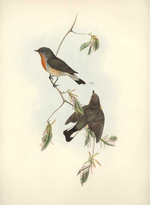 John Gould Birds of Great Britain Red-Breasted Flycatcher lithograph c1862-1873.