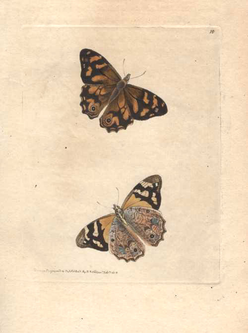 Australian butterflies, Hipparchia Banksii engraving by Nodder for Shaw, c1814.