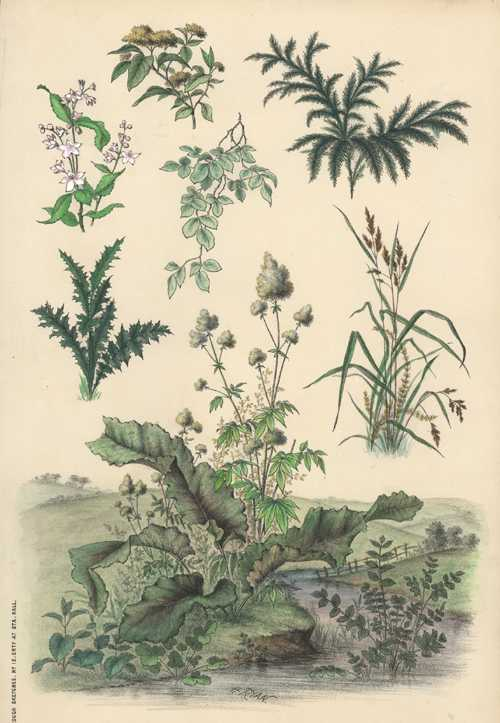 Henry Ryan botanical lithograph. Rough Sketches from Nature #12 c1860