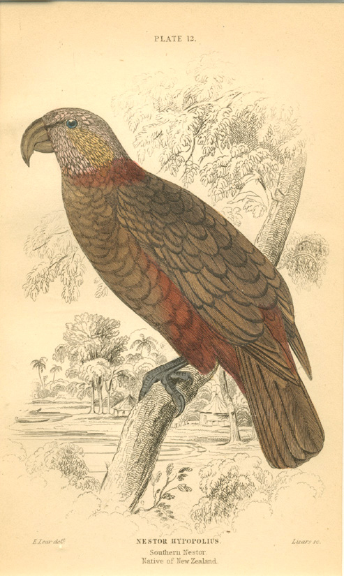 Edward Lear Kaka parrot, Nestor Hypopolius. Southern Nestor. Native of New Zealand. Lizars c1836.