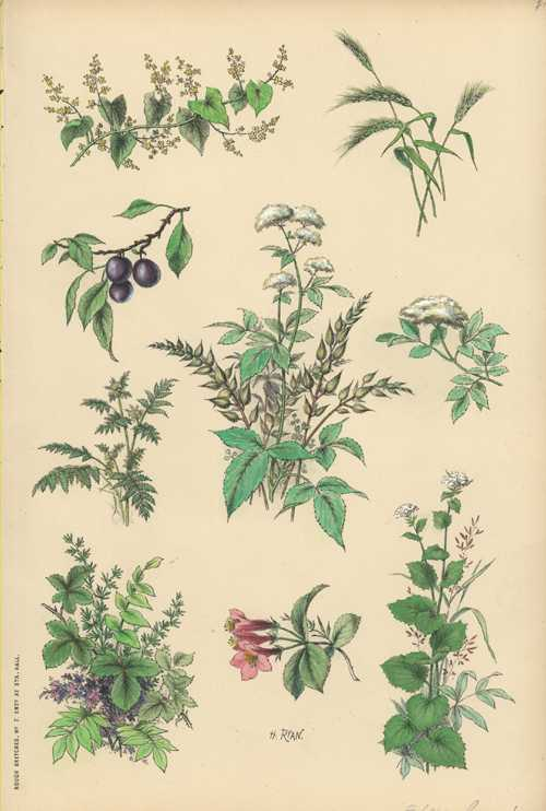 Henry Ryan botanical lithograph. Rough Sketches from Nature #7 c1860