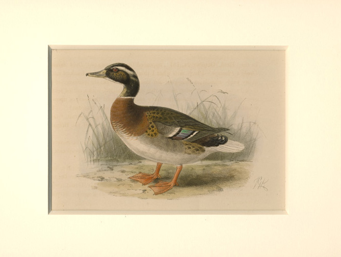 Mallard Duck. Beautiful Keulemans lithograph c1875 (8-ply mount c1875).