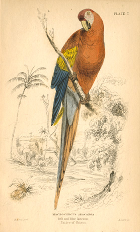 Lear, Red and Blue Maccaw, Macrocercus Aracanga c1836
