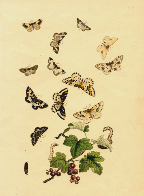 Humphreys hand-coloured lithograph of Butterflies Transformation c1849.