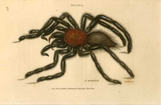 Spider Antique Print of Tarantula, Aranea avicularia