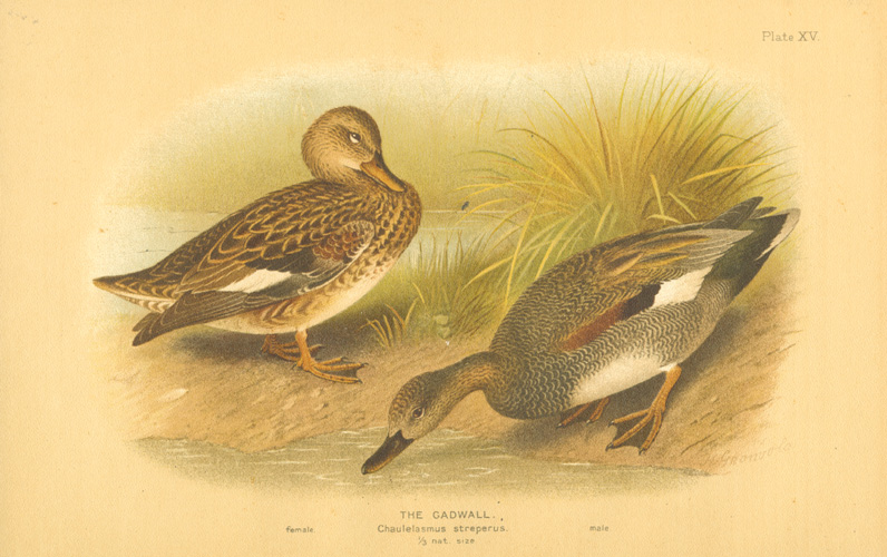 The Gadwall, Chaulelasmus streperus female & male c1904.