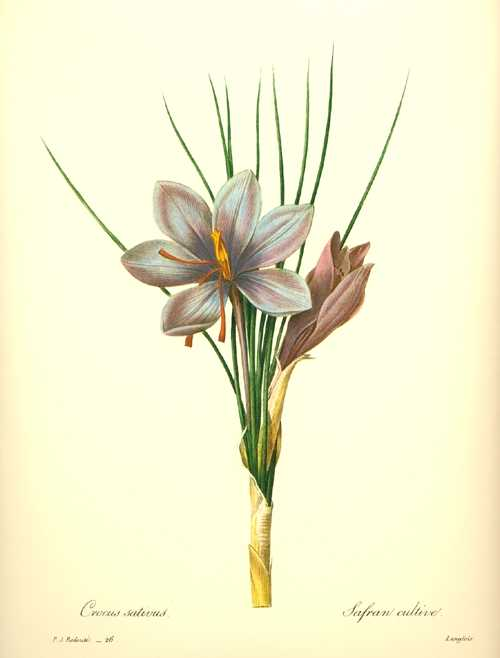 Redoute botanical.  Pretty Blue Crocus Sativus. Saffron Crocus.