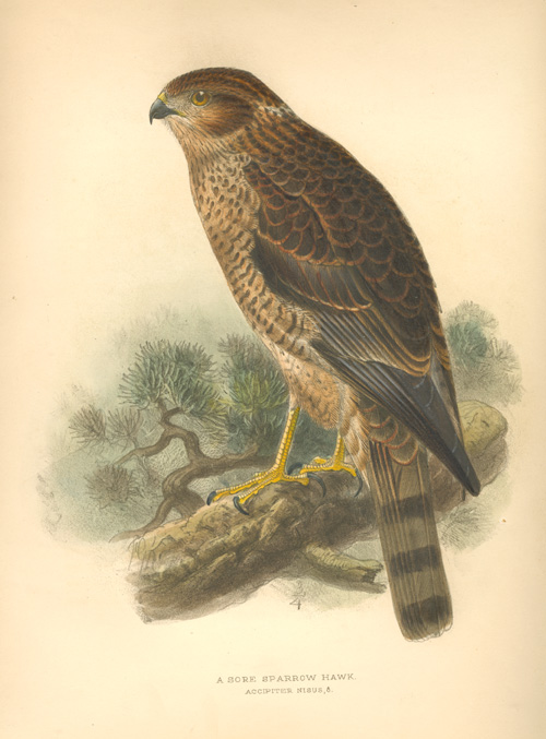 Keulemans Sore Sparrow Hawk, Accipter Nisus lithograph c1878.