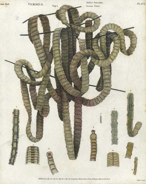 Intestinal Vermes. Tapeworms. Medical engraving, Rees' Encyclopedia engraving c1812