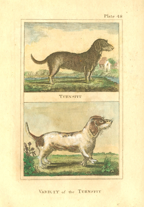 Small Buffon copperplate engraving of Turnspit dogs c1790.
