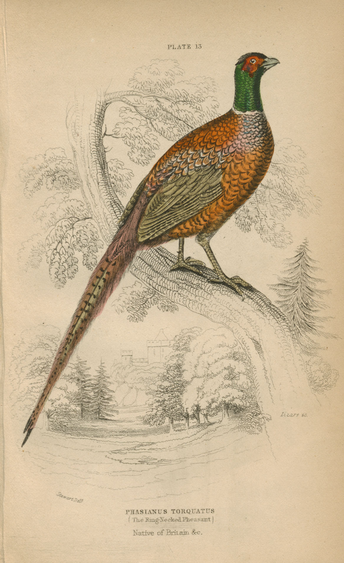 Phasianus Torquatus (Ring-necked Pheasant), Native of Britain. Lizars engraving c1835